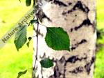 Лист и ствол березы